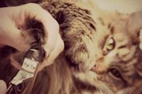 Knip de tip van de nagels van uw kat. Knip net genoeg nagel weg zodat het nagelkapje helemaal over  de nagel past.